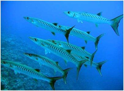 Hurghada Egypti - Barrakudaparvi partioi koralliriuttaa