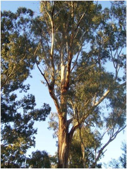 Espanja Costa Blanca Alicante eukalyptus puu