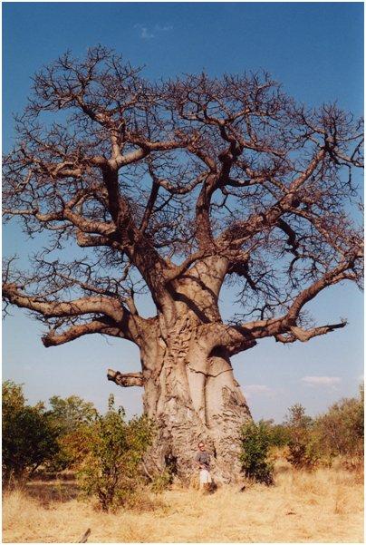 Fuengirola Zoo Baobab-puu eli apinanleip�puu
