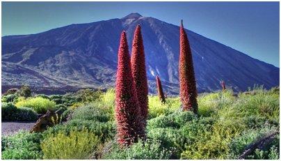 Espanja Kanariansaaret Echium wildpretii Teneriffa kuva