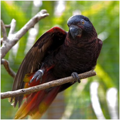 Espanja Kanariansaaret musta papukaija Palmitos Park Gran Canaria kuva