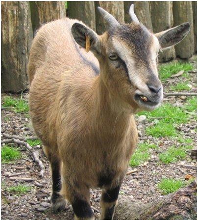 kuva mufloni Bulgaria loma matka