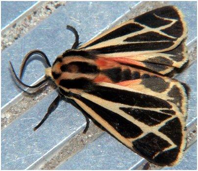 Kreikka Rodos siilikehrääjäperhonen